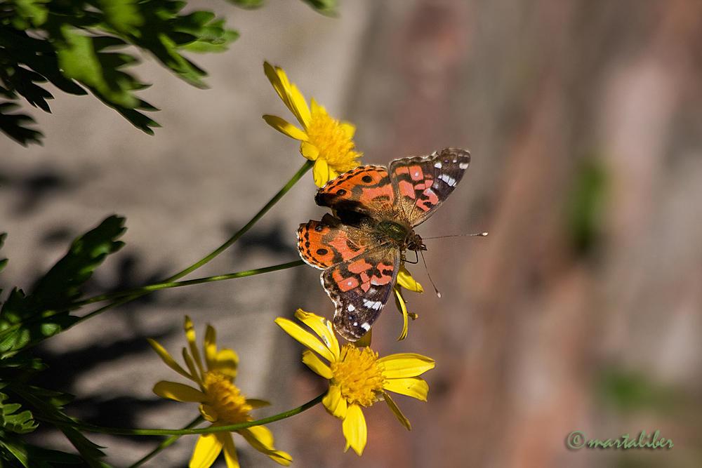 Mariposa Vanessa (marta Liber)