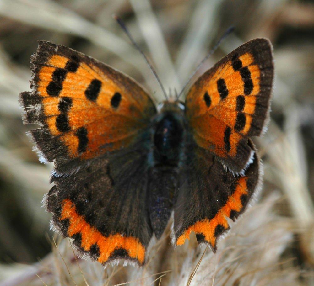 Mariposa anaranjada (Luis Montalbán Pozas)