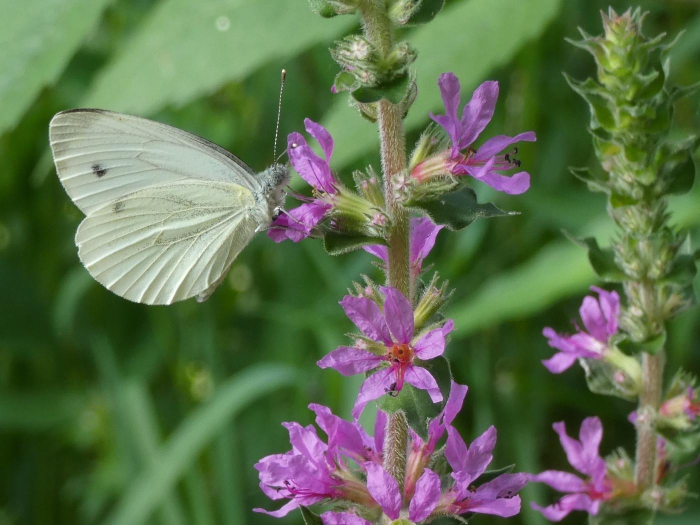 Mariposa en flor (Dolores Salvador D.)