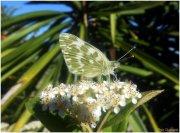 Mariposa común (Pieris brassicae)
