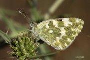 Mariposa (Pontia daplidice )