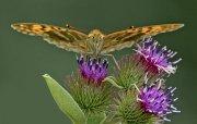 Mariposa sobre cardos