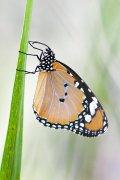 Mariposa tigre III