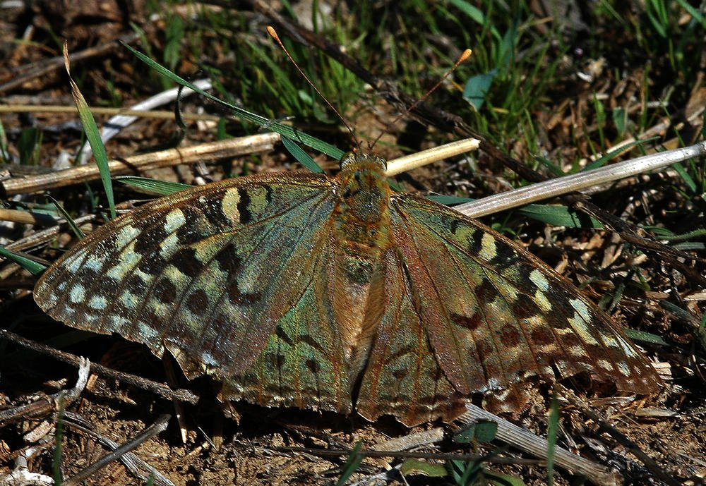 Mariposa verdosa. (Luis Montalbán Pozas)