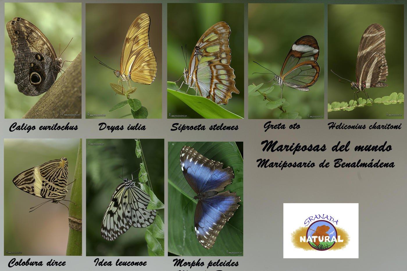 Mariposas del mundo (Butterflies of the world) (Lucas Gutierrez Jiménez)