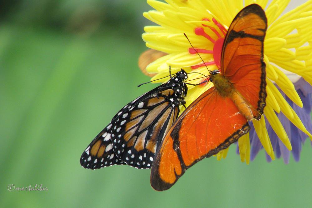 Mariposas Julia y Monarca (marta Liber)