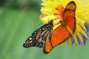 Mariposas Julia y Monarca