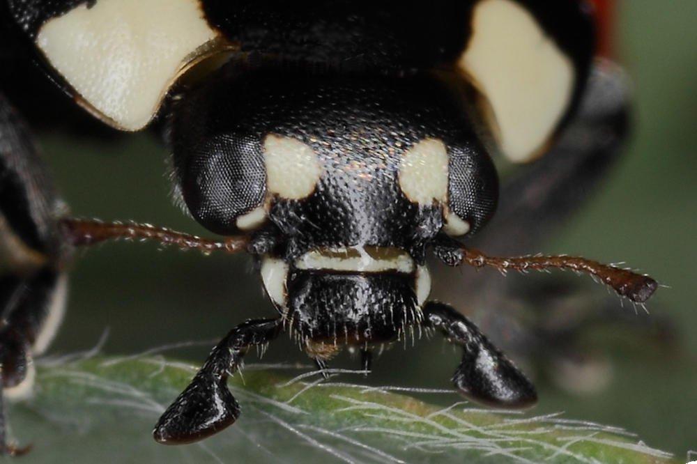 Mariquita (Coccinella septempunctata) - retrato - (Carlos Esteban)