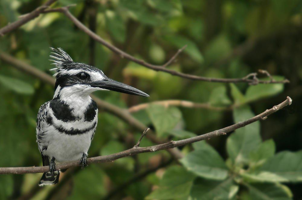 Martín pescador pío (Pied Kingfisher) (Salvador Solé Soriano)