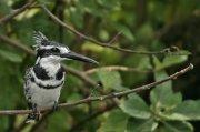 Martín pescador pío (Pied Kingfisher)