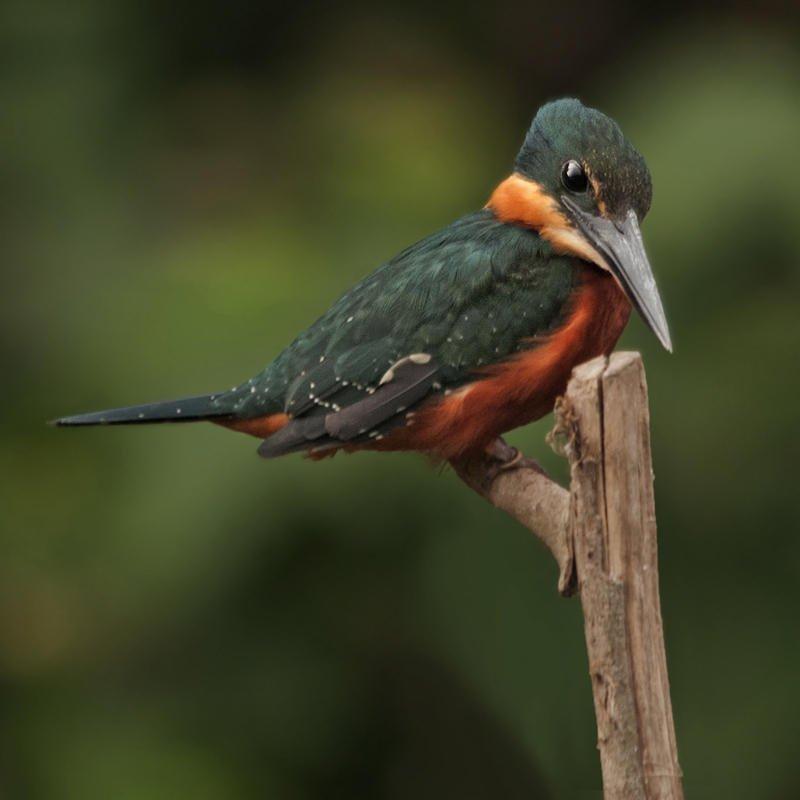 Martín pescador verdirrufo (Green-and-rufous Kingfisher) (Salvador Solé Soriano)
