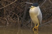 Martinete común (Black-crowned Night-heron)