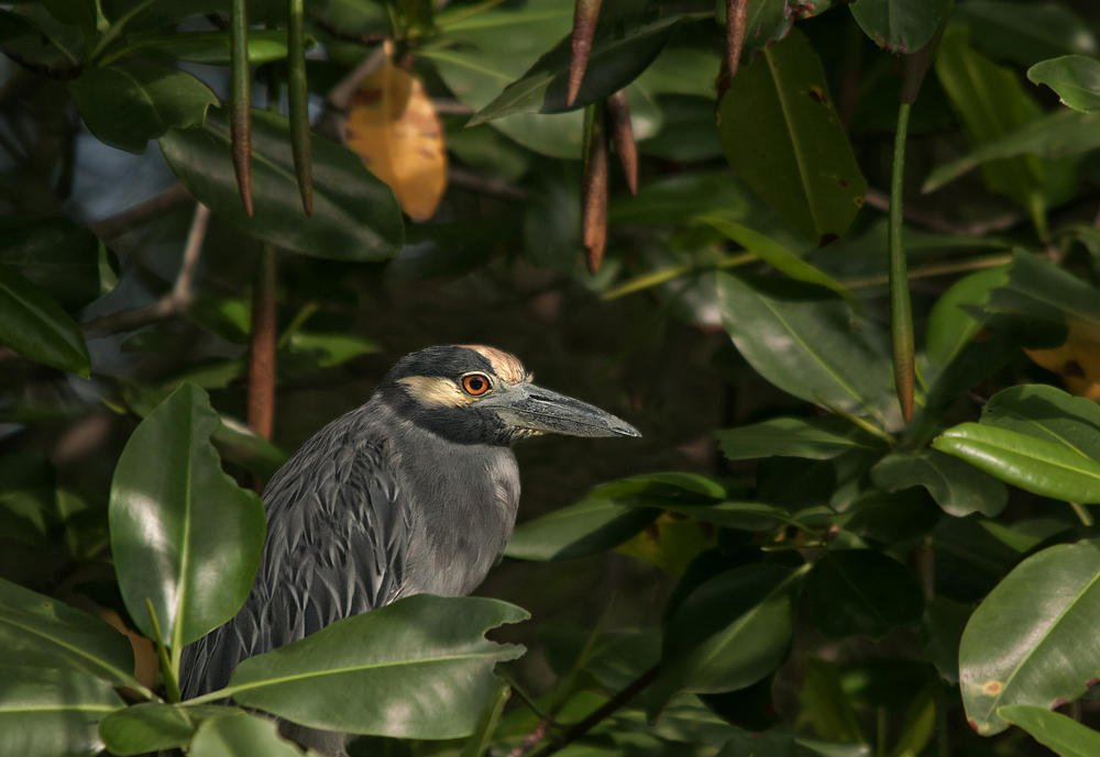 Martinete coronado (Yellow-crowned Night-heron) (Salvador Solé Soriano)