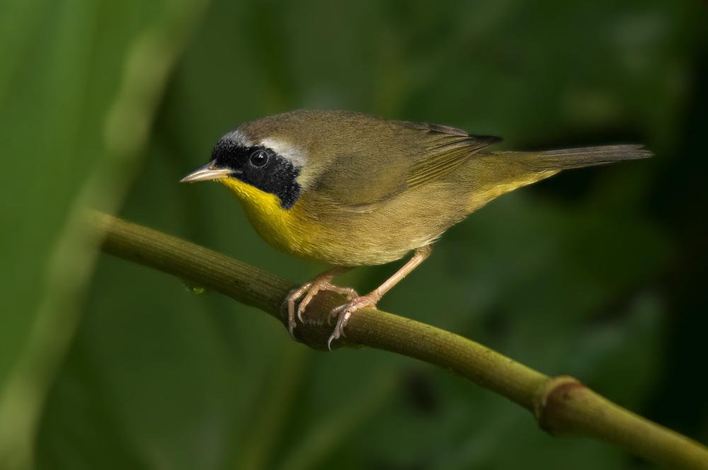 Mascarita común (Common Yellowthroath) (Salvador Solé Soriano)