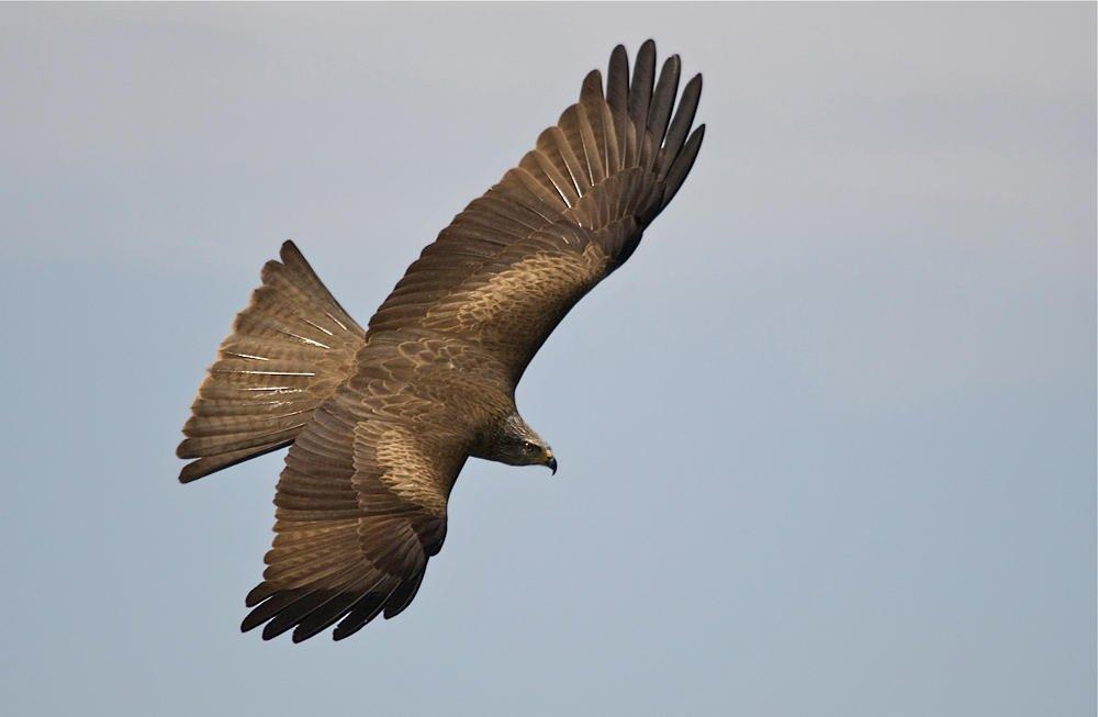 Milano negro (Black Kite) (Salvador Solé Soriano)