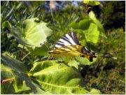 Mariposa:  familia Papiliocidae..., IphiclidesPodalirius.