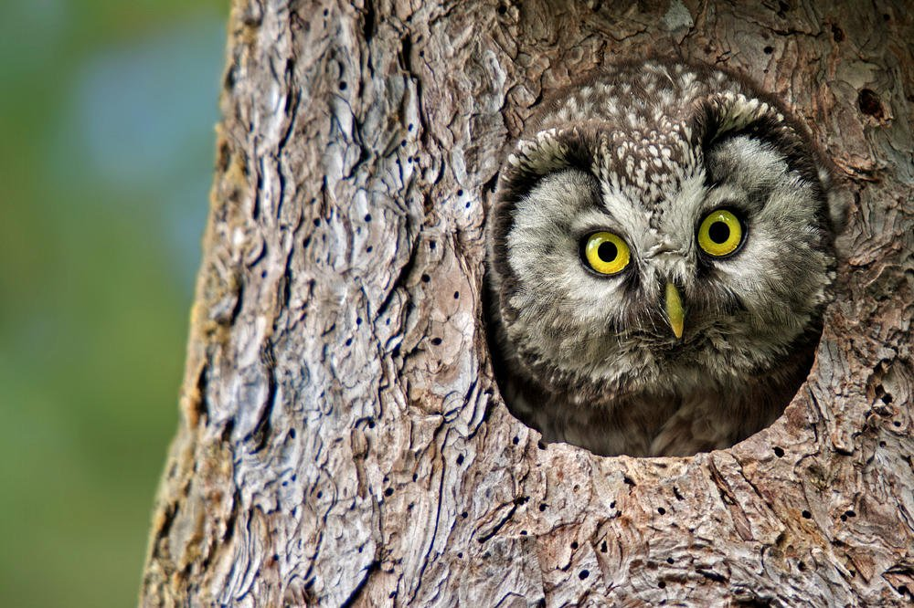 Mochuelo boreal (Boreal Owl) (Salvador Solé Soriano)