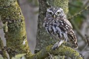 Mochuelo europeo (Little Owl)