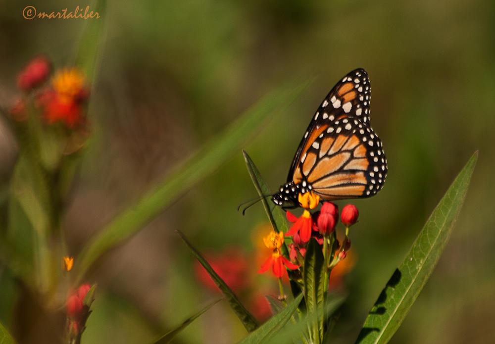 Monarca (marta Liber)