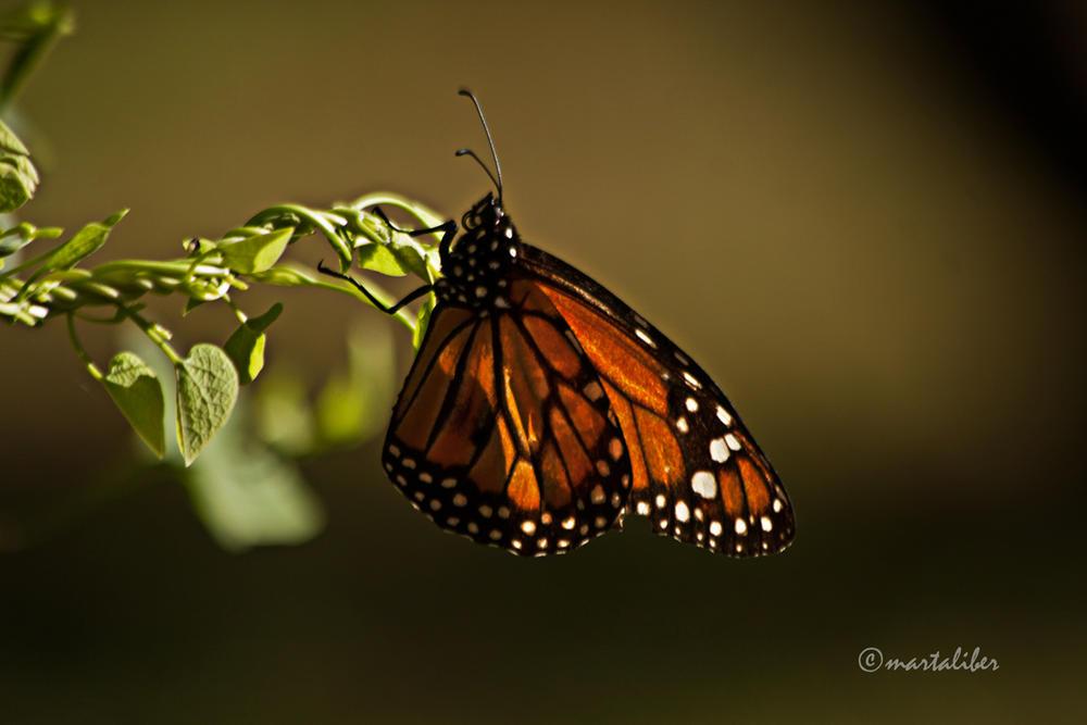 Monarca (Danaus Plexippus) (marta Liber)