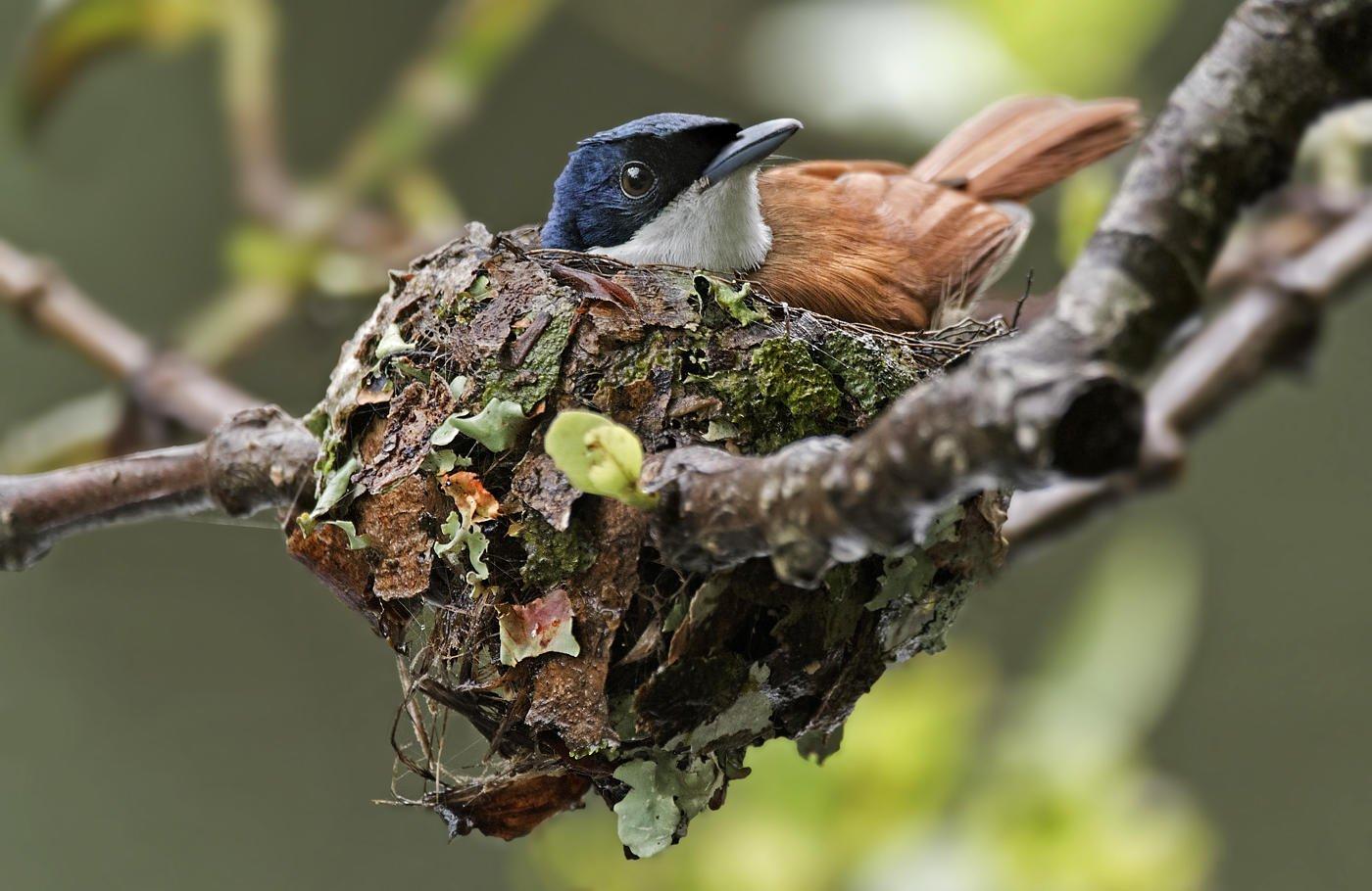 Monarca reluciente (Shining Flycatcher) (Salvador Solé Soriano)