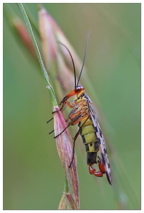 Mosca escorpion (xavi cano martin)