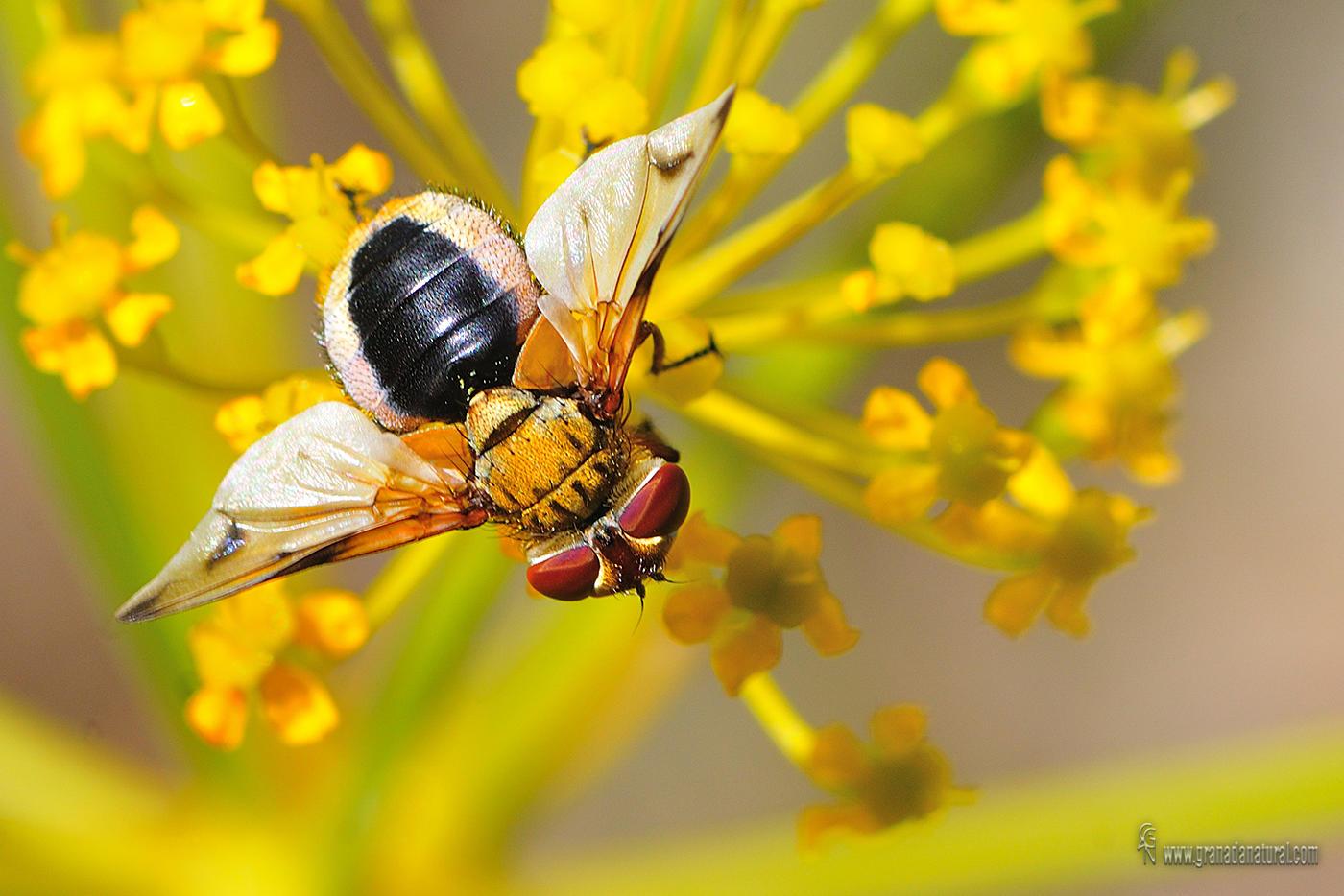 Mosca sobre cañaeja ( Familia Tachinidae, Subfamilia Phasiinae) (Lucas Gutierrez Jiménez)