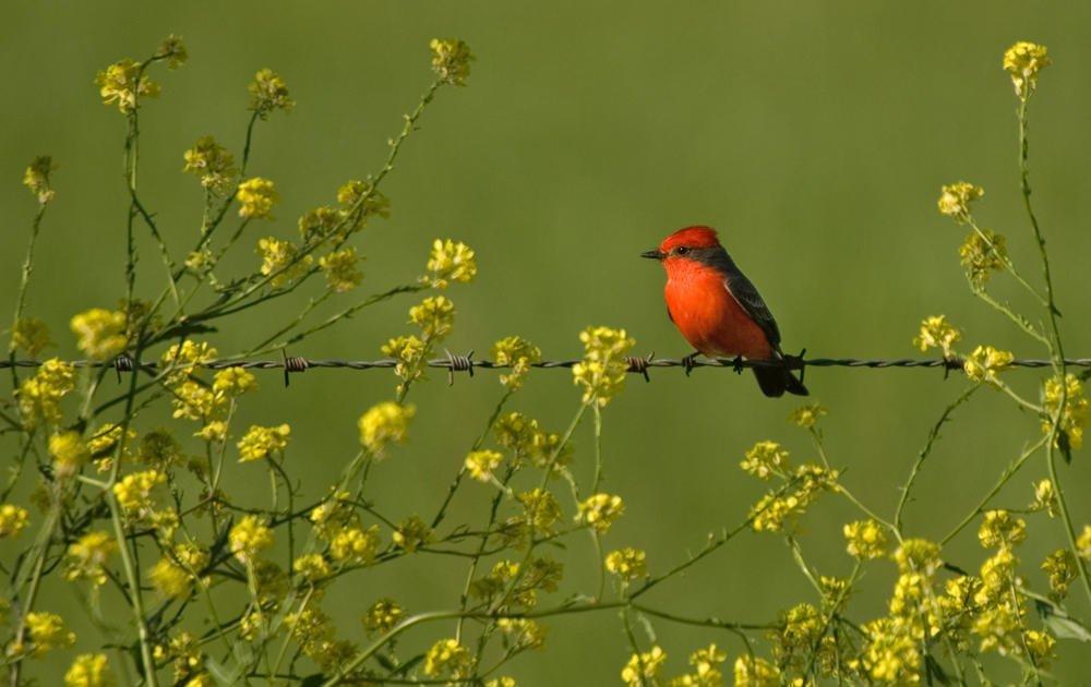 Mosquero cardenal (Vermilion Flycatcher) (Salvador Solé Soriano)