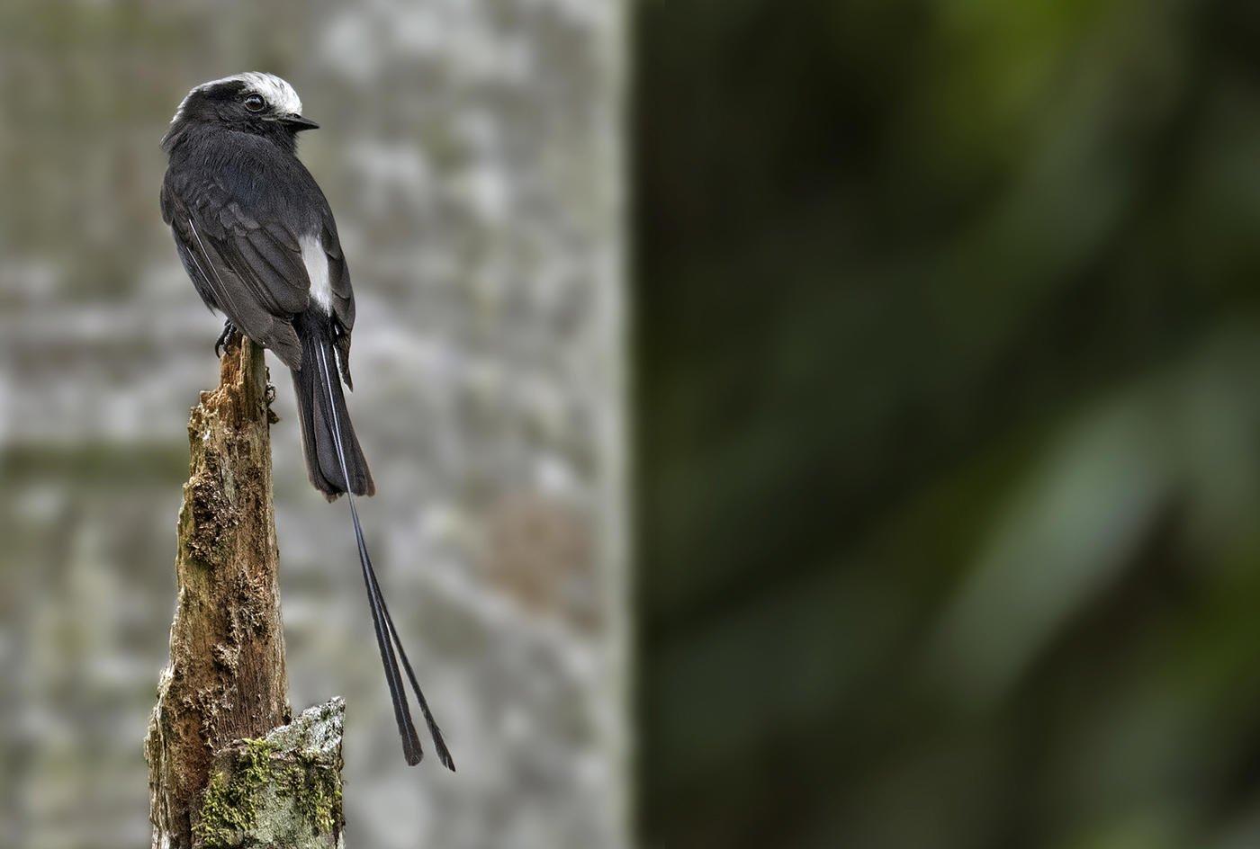 Mosquero colilargo (Long-tailed Tyrant) (Salvador Solé Soriano)