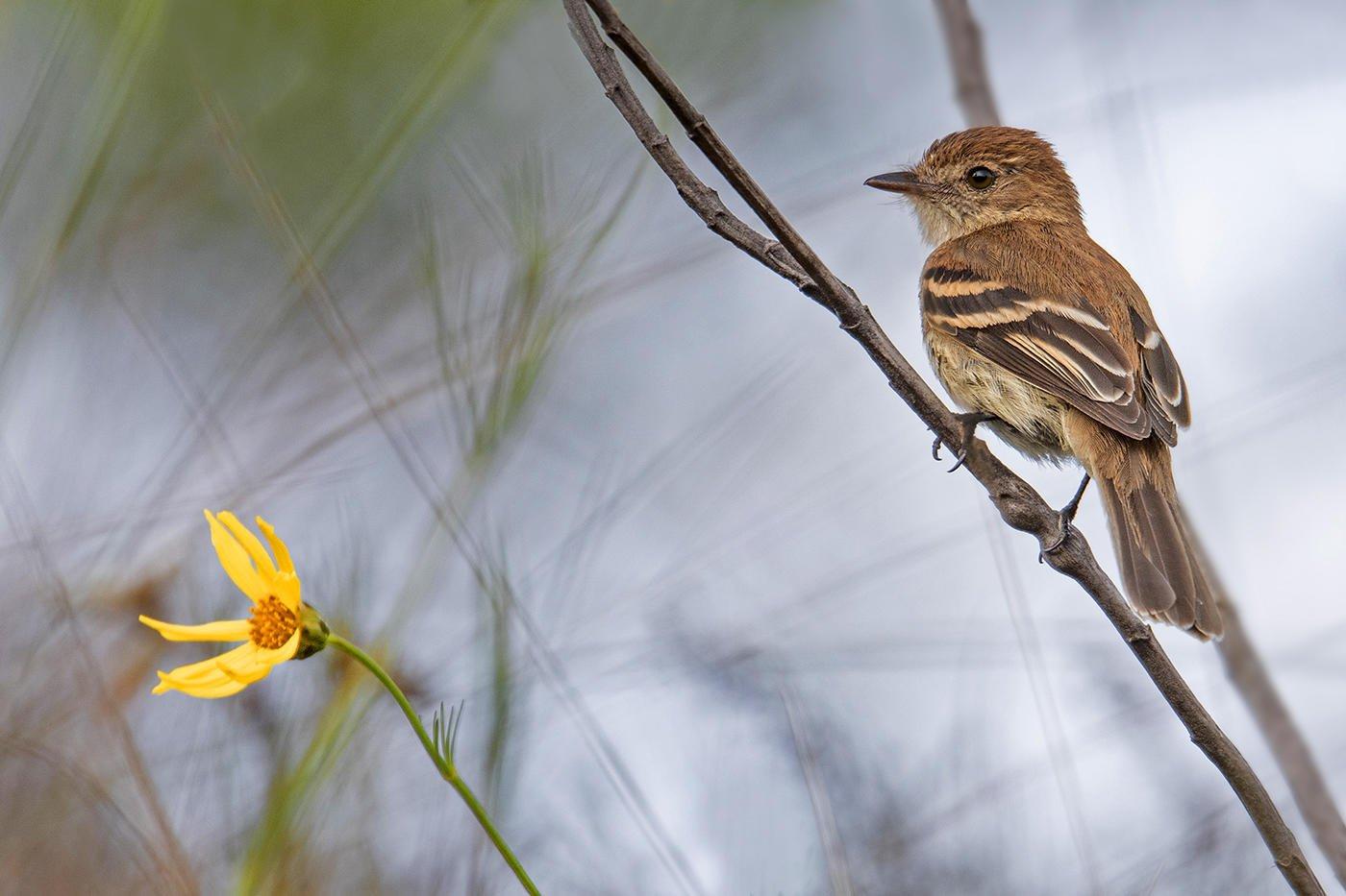 Mosquero estriado (Bran-colored Flycatcher) (Salvador Solé Soriano)