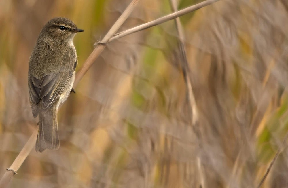 Mosquitero común (Common Chiffchaff) (Salvador Solé Soriano)