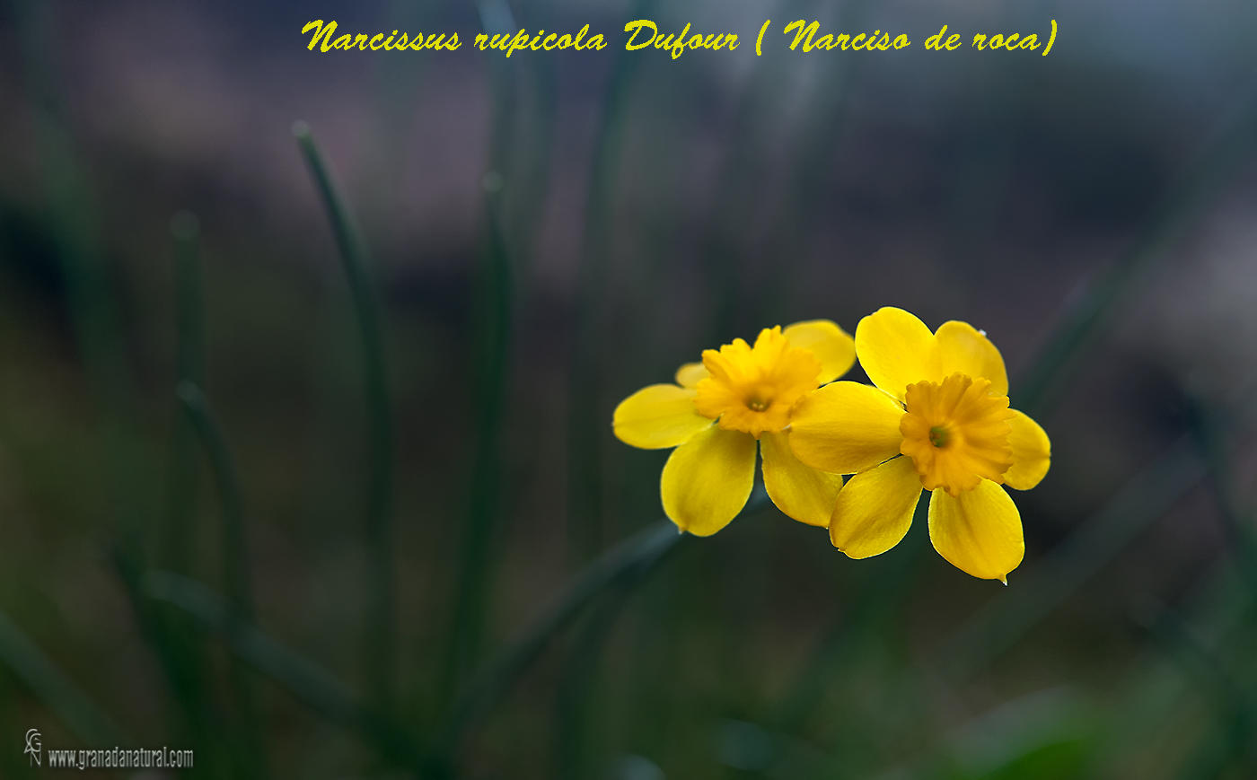 Narcissus rupicola ( Narciso de roca) (Lucas Gutierrez Jiménez)