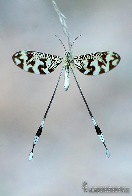 Nemoptera bipennis  (Lucas Gutierrez Jiménez)
