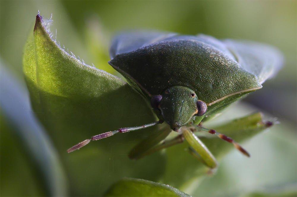 Nezara viridula (Chinche verde hedionda) (Jaume Bobet)