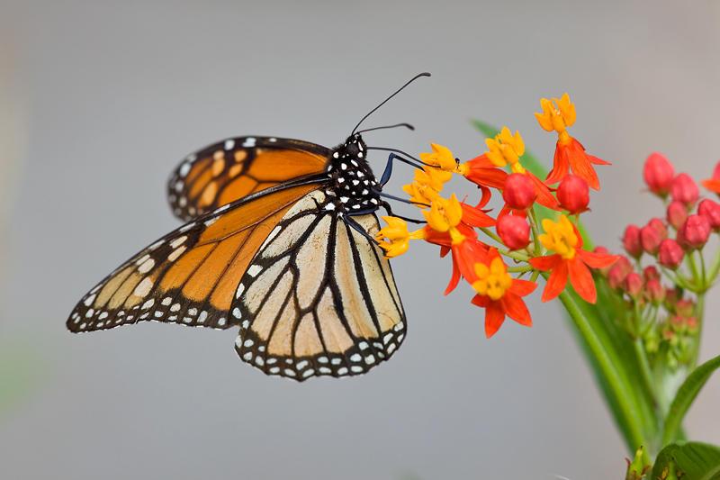 No todo es Islandia, mariposa Monarca (david Pérez Hens)