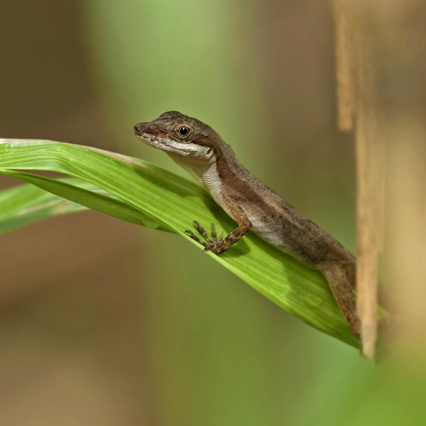 Norops limifrons (Slender Anole) (Salvador Solé Soriano)