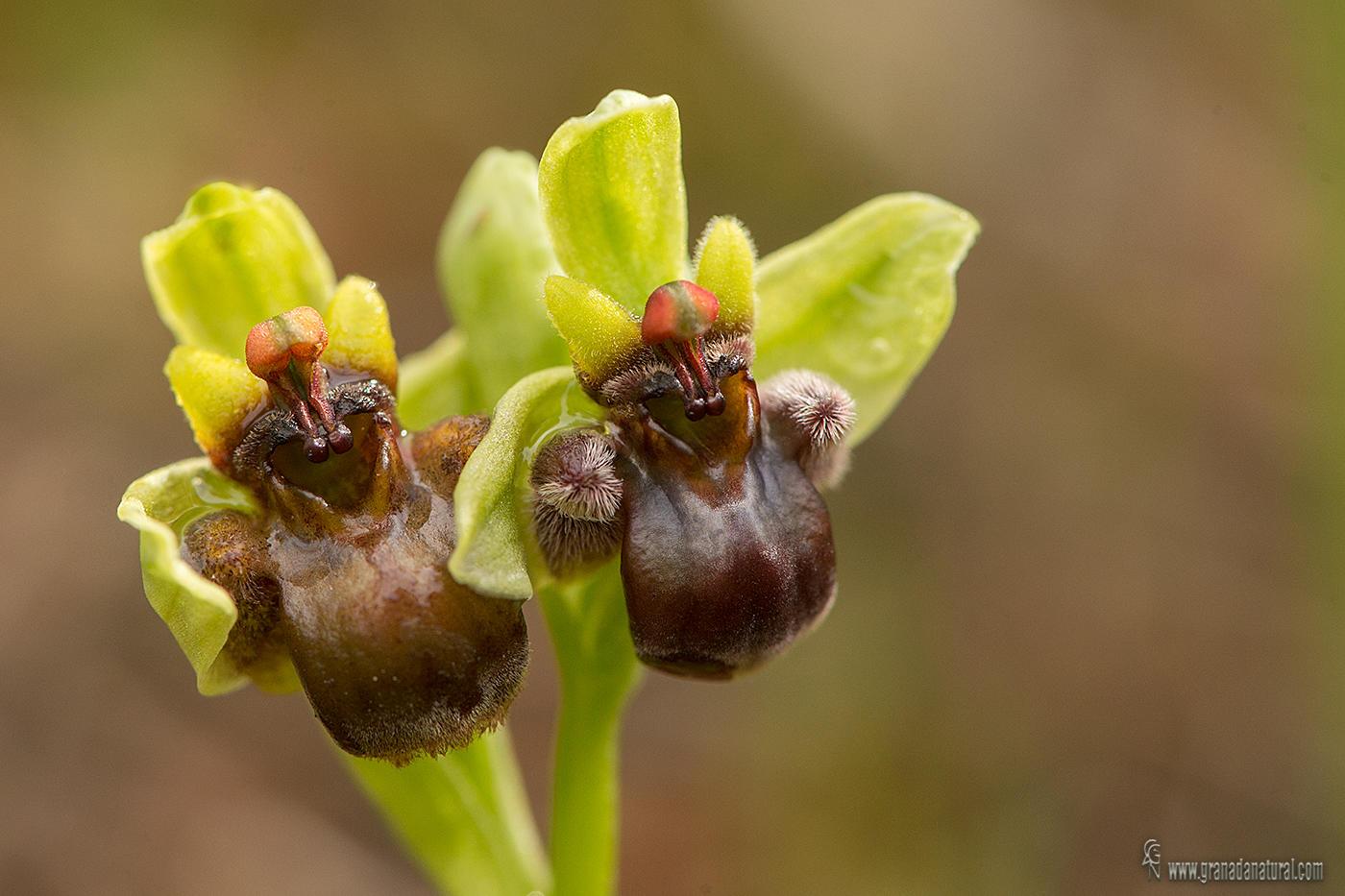 Ophrys bombiliflora ( Ositos) (Lucas Gutierrez Jiménez)
