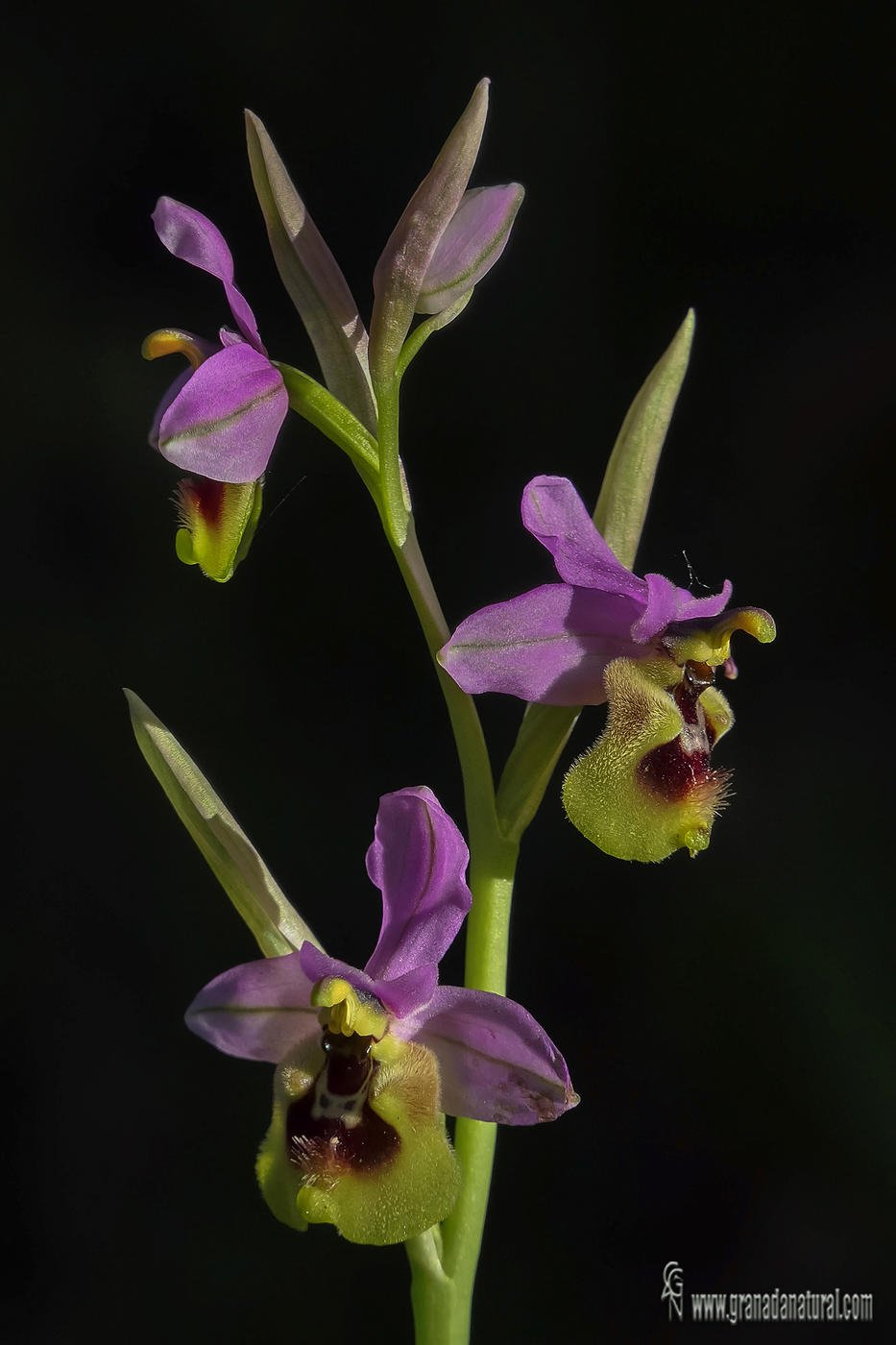 Ophrys ficalhoana (Lucas Gutierrez Jiménez)