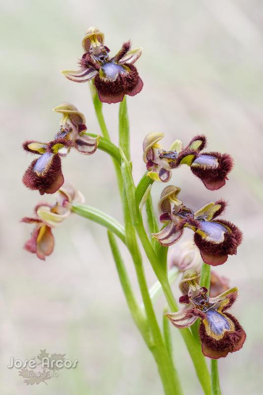 Ophrys speculum (José Arcos Aguilar)