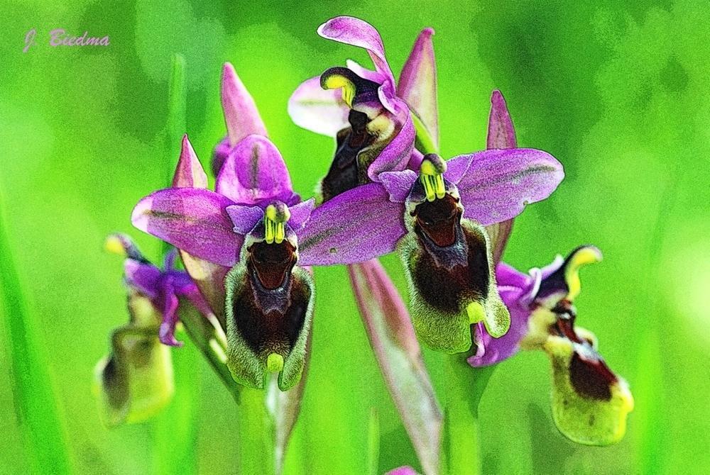 Ophrys tenthredinifera (José Biedma López)