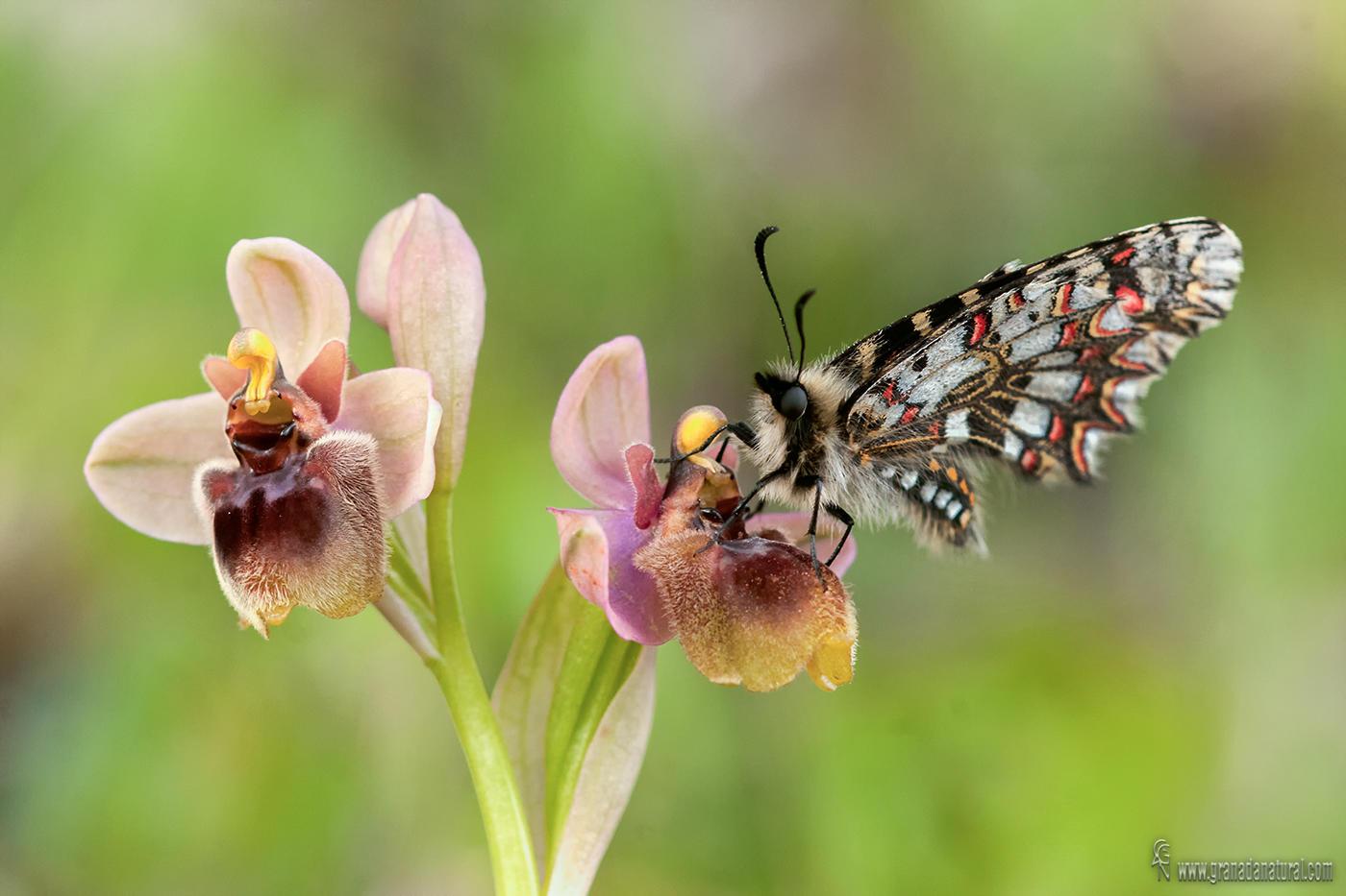 Ophrys x sommieri y mariposa arlequín. (Lucas Gutierrez Jiménez)