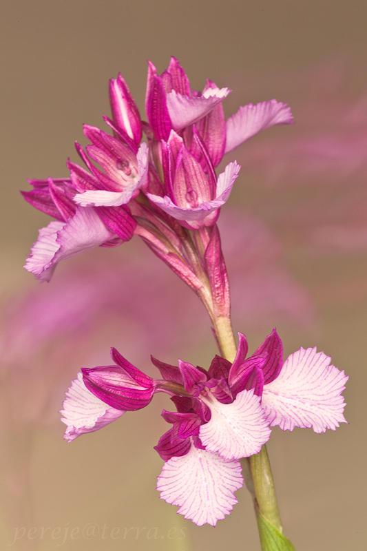 Orchis papilionacea (david Pérez Hens)