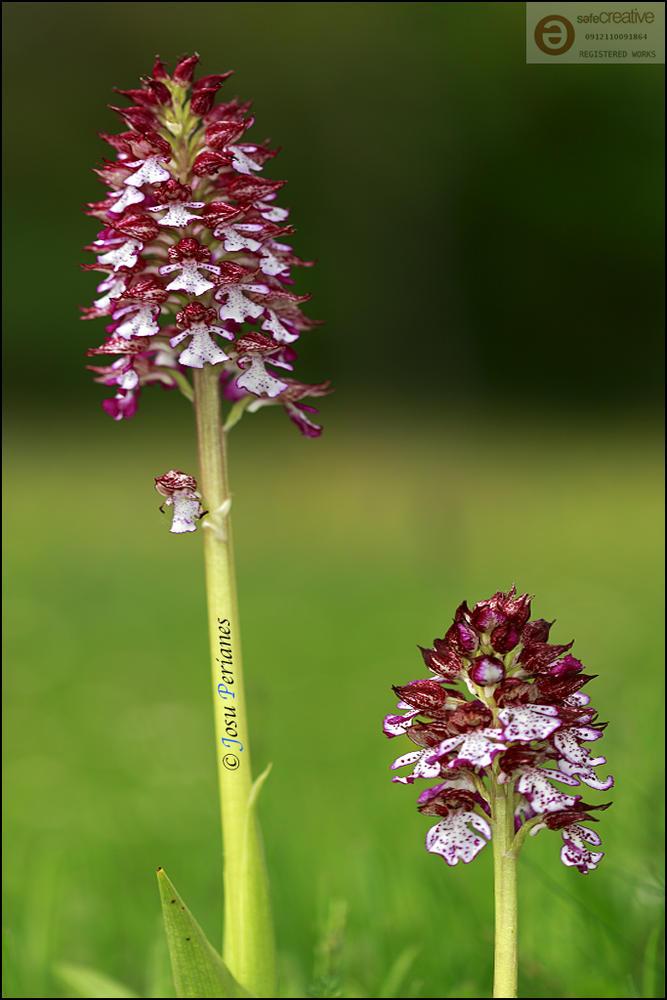 Orchis purpurea (Josu Perianes)