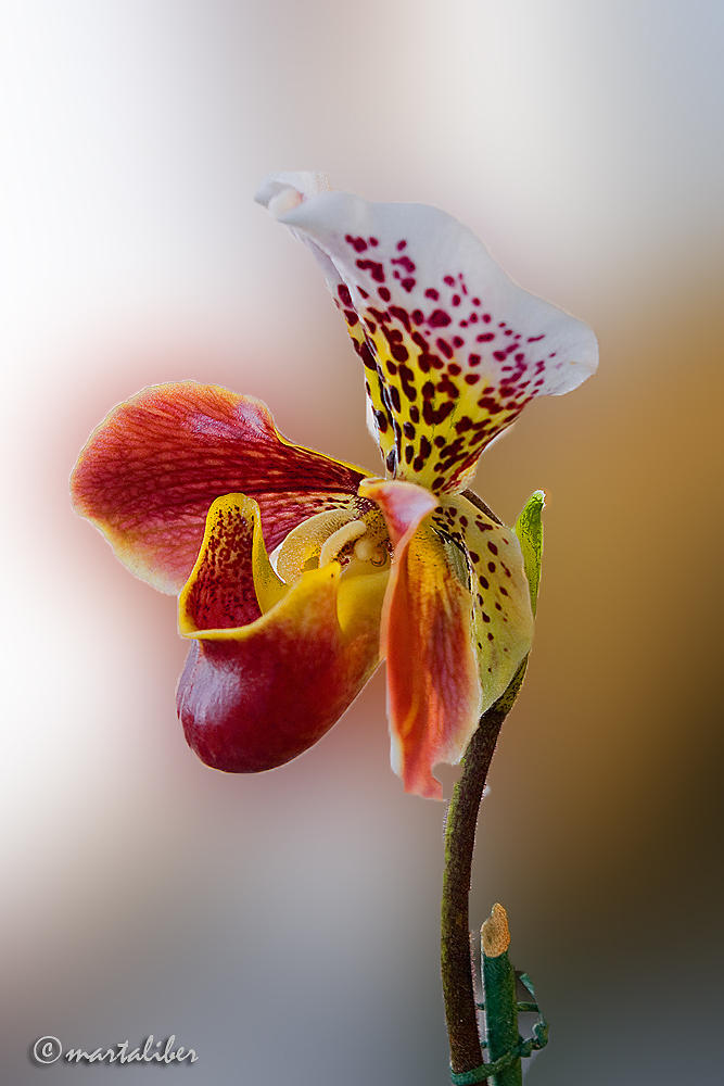 Orquídea III (marta Liber)