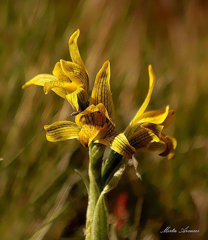 Orquídea patagónica (Mirta Arcucci)