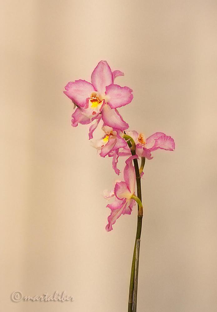Orquídeas (marta Liber)