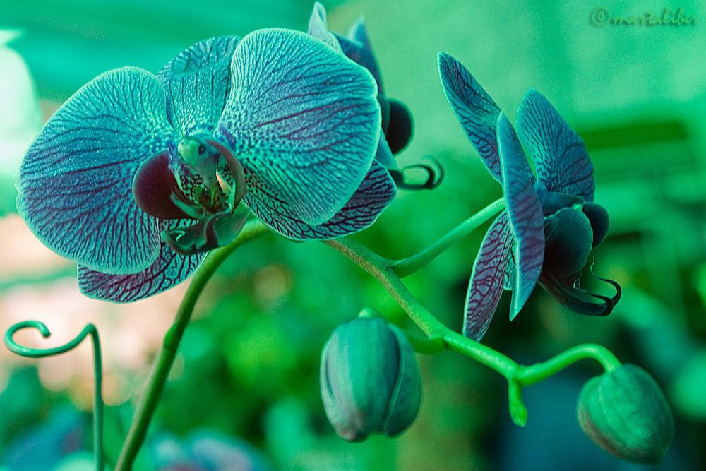 Orquídeas II (marta Liber)