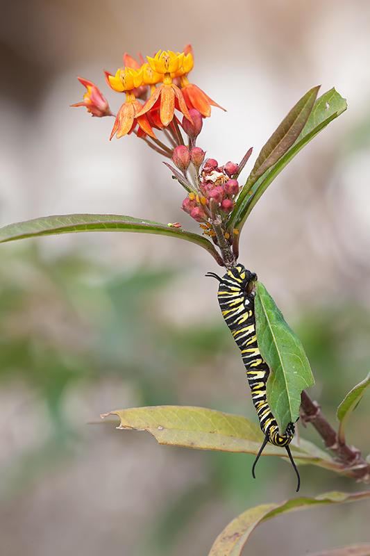 Oruga de monarca. (david Pérez Hens)