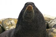 Oso marino ártico (Northern Fur Seal)