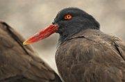 Ostrero negro sudamericano (Blackish Oystercatcher)
